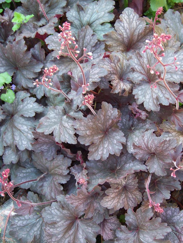 Coral Bells 'Raspberry Ice'