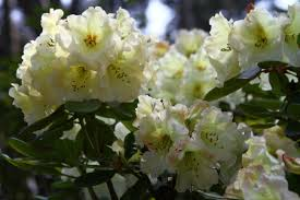 Rhododendron 'Odee Wright'